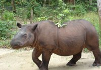 В Малайзии умер последний самец самого редкого носорога