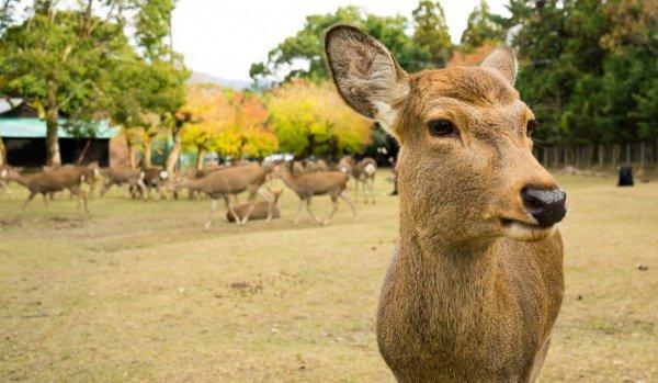 Ассоциация по защите оленей призывает зарубежных туристов и местных жителей внимательнее относиться к тому, чем они кормят оленей