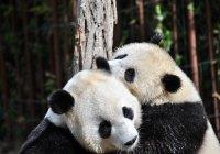 Павильон панд появится в Москве