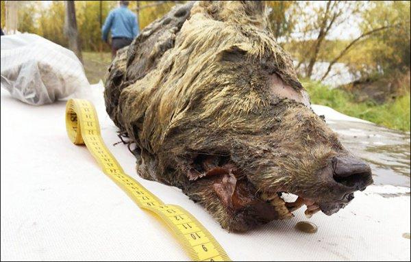 Шерсть животного напоминает покров мамонта