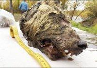 В Якутии нашли голову древнейшего волка с неповрежденным мозгом