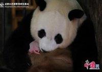 Рекордно маленький детеныш панды родился в Китае