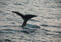 Впервые записано пение редкого японского кита (ВИДЕО)