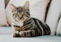 Российские ученые установили коту-инвалиду гибридный протез