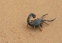 Ученые: яд скорпиона поможет лечить инфекции