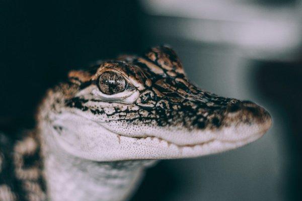 В настоящее время крокодил находится под пристальным вниманием экспертов