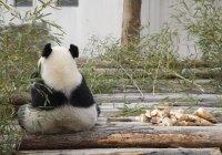 В зоопарке Москвы показали, что общего у панд и кошек (ВИДЕО)