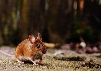 Массовая гибель мышей в Голландии озадачила экспертов