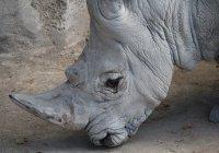 Найден способ спасти белых носорогов