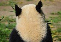 Сегодня стартовала онлайн-трансляция жизни панд
