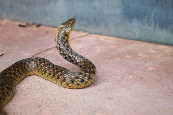 В России обитает множество змей, и иногда сложно определить, какая из них ядовита