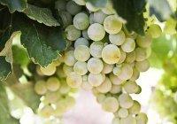 Гроздь винограда продали в Японии за $11 тыс.