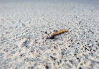 Найден морской червь, который «кричит» как кит (ВИДЕО)