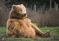 В Финляндии транслируют жизнь медведей (ВИДЕО)