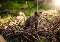 В Приморье медвежонок, упавший с дерева, удивил ученых (ВИДЕО)