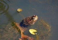 Сердца черепах могут выжить без кислорода