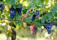 Стало известно, как виноград поможет долететь до Марса