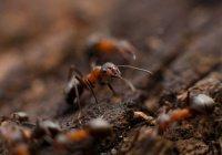 В Австралии муравьи готовятся к экологическому Армагеддону