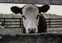 В США отель предлагает своим постояльцам терапию коровами