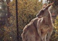Из цирка в Ханты-Мансийске сбежал кенгуру