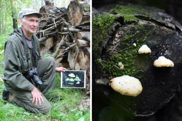 Гриб произрастает группами на мертвой древесине осины (Фото: Уральский меридиан)