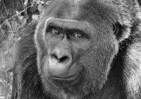 Старейшая в мире горилла умерла в США