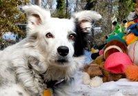 Скончалась самая умная собака в мире