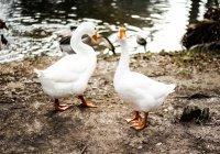 В Минске поженили двух гусей