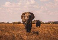 Стало известно, к чему приведет исчезновение слонов