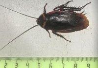 В Сочи появились 5-сантиметровые летающие тараканы