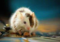 В Японии разрешили скрещивать мышь и человека