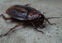 Выяснилось, почему человечество не сможет избавиться от тараканов