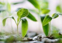 Растение, очищающее почву от тяжелых металлов, вывели в России