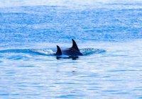 Афалина впервые усыновила дельфиненка другого вида
