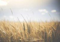 Диетическую пшеницу вывели в России