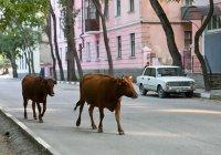 «Штрафстоянки» для коров появились в Махачкале