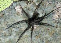 На Алтае нашли новый вид паука-волка