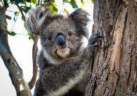 Самую милую коалу выбрали в Австралии