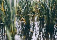 В Китае будут выращивать рис в морской воде