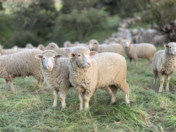 При этом малоимущим семьям раздали порядка 23 тыс. овец