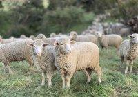 Рамзан Кадыров передал хаджиям в Мекку 10 тыс. овец