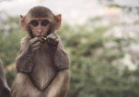 В Китае обезьяна использовала орудие для побега из зоопарка (ВИДЕО)