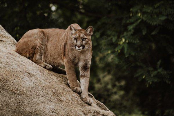Через несколько дней наблюдений за существом жители деревни назвали его Powick Puma — по названию деревни