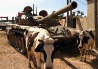 ИГИЛ начало использовать для терактов коров