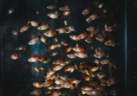 В Британии вырезали раковую опухоль аквариумной рыбке