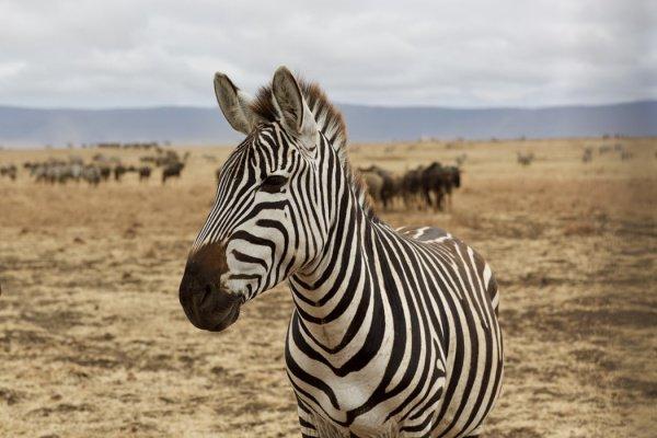 В отличие от других зебр, имеющих привычную полосатую черно-белую окраску, зебра имеет окраску в горошек