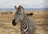 Редчайшую зебру запечатлели в Кении (ФОТО)