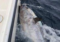 В Ирландии поймали редчайшего 272-килограммового тунца