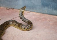 В США щенок погиб, спасая детей от ядовитой змеи