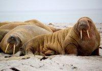 Концерт для моржей устроили в Арктике (ВИДЕО)